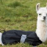 Baby llama at alpaca farm