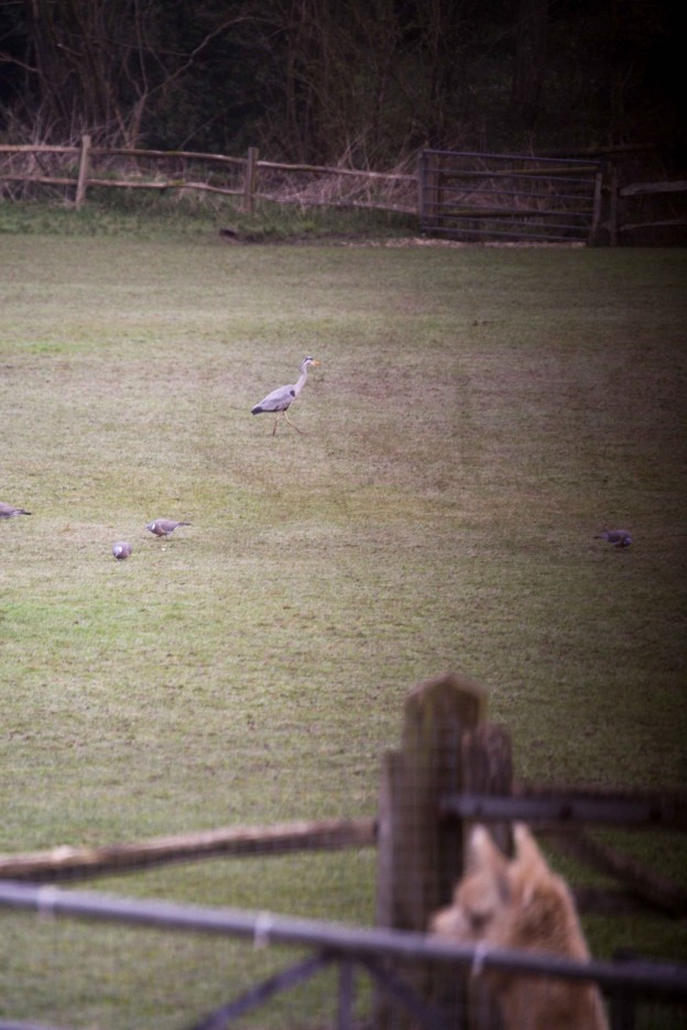 Grey heron at Spring Farm