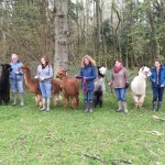 Alpaca walk with bluebells