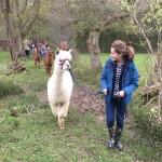 Alpaca trek with bluebells