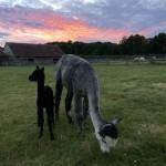 Mum and baby alpaca at Spring Farm