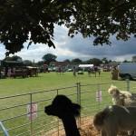 Fletching festival alpacas