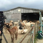 TV film crew with alpacas