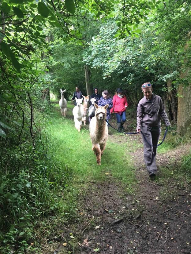 Green lane alpaca trekking