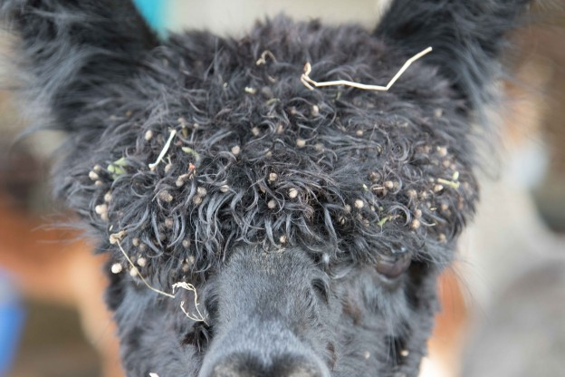 Alpacas and cleavers!