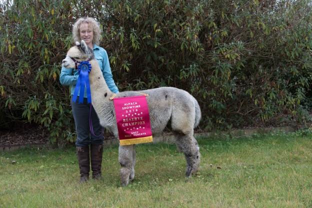Reserve champion grey huacaya alpaca
