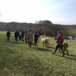 Alpaca walk in Springtime in Sussex