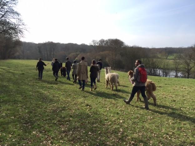 Alpaca walk in Springtime in Sussex