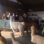 Club visit to alpaca farm