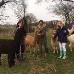 Alpacas in sussex in Spring