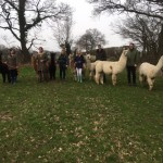 Alpaca walks and llama walks