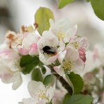 April wild flowers - apple blossom