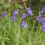 Bluebells in sussex