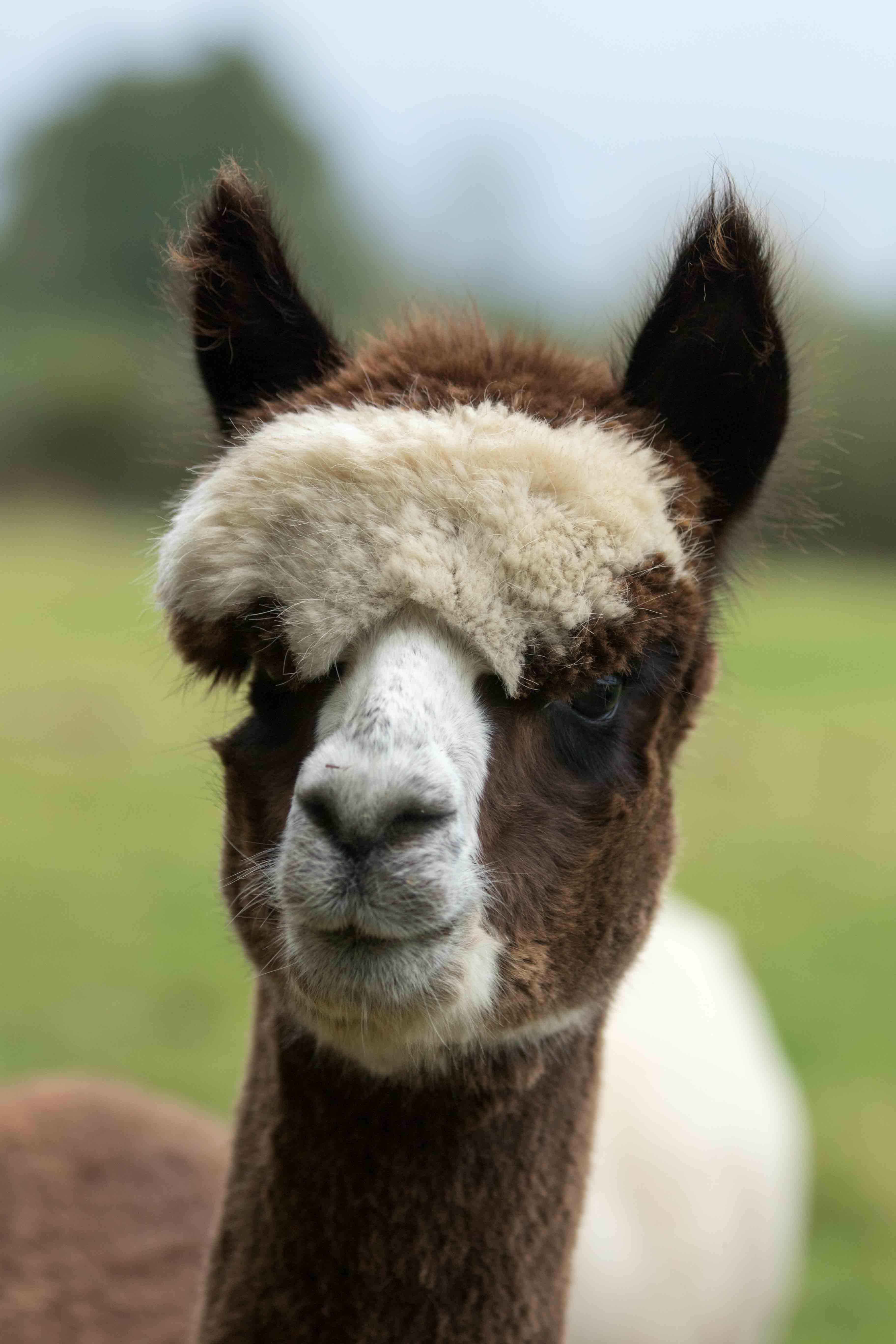 Adopt an alpaca Lazarus