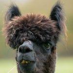 Adopt an alpaca in sussex