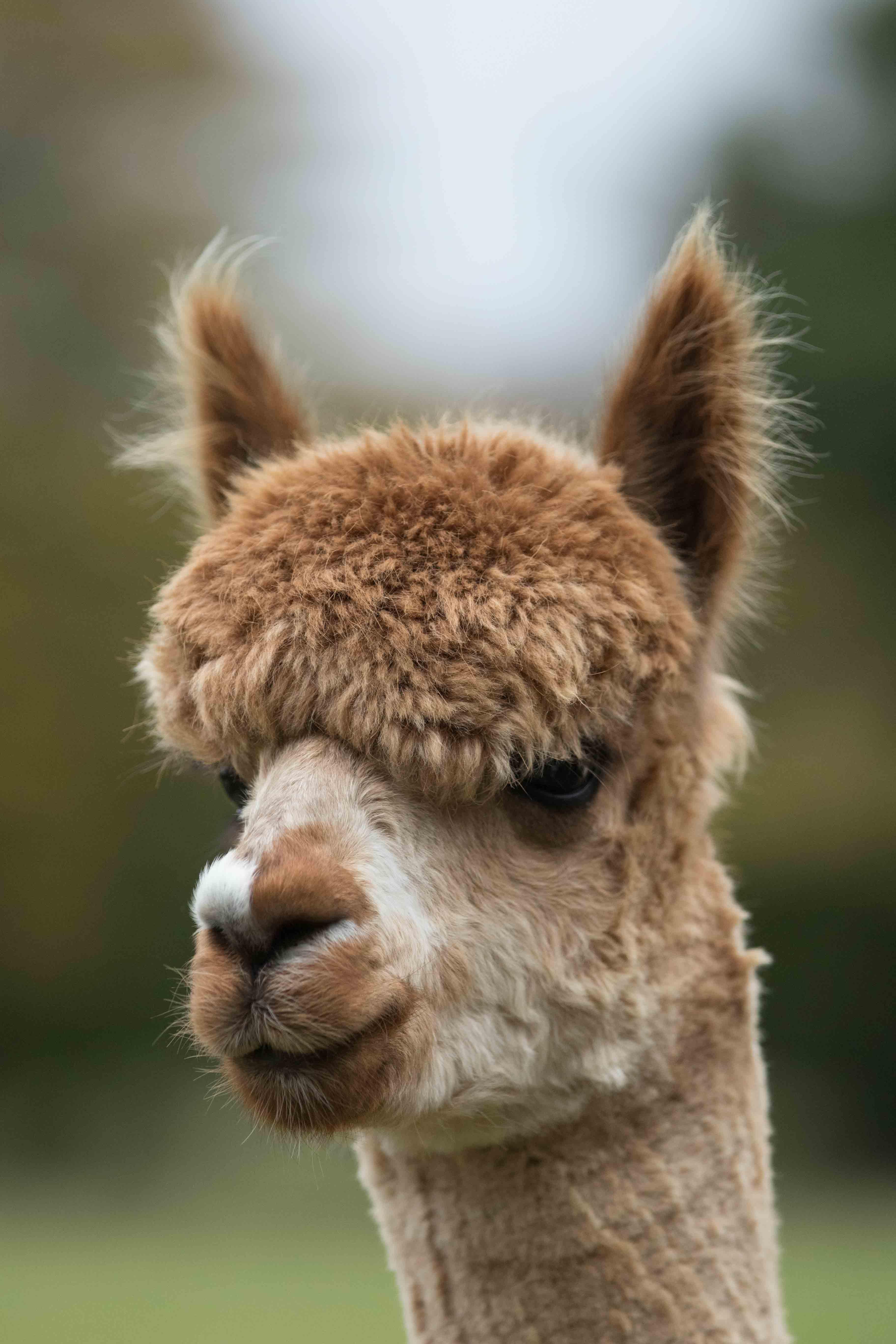 Adopt an alpaca such as pickle
