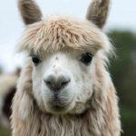Adopt an alpaca such as Rillian