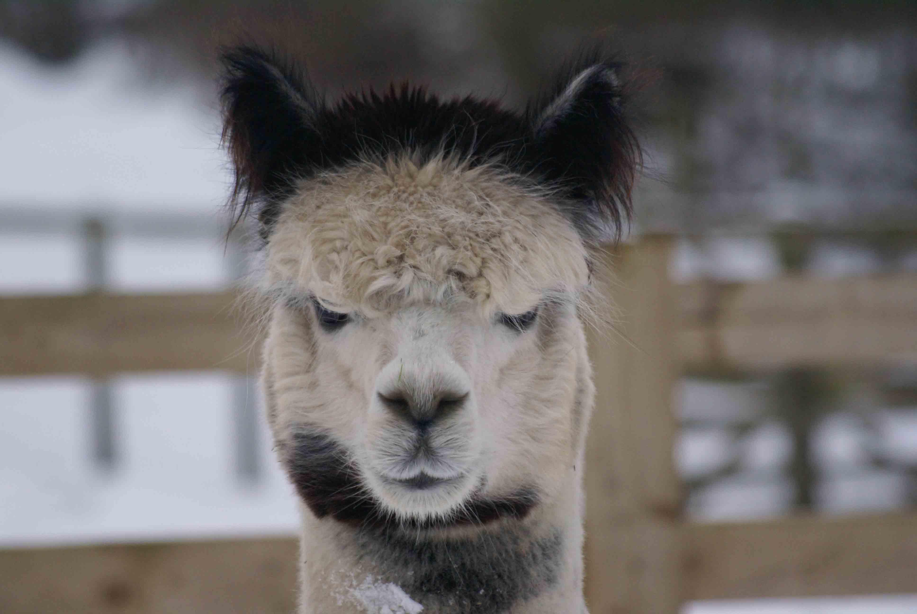 Adopt an alpaca such as gunsmith