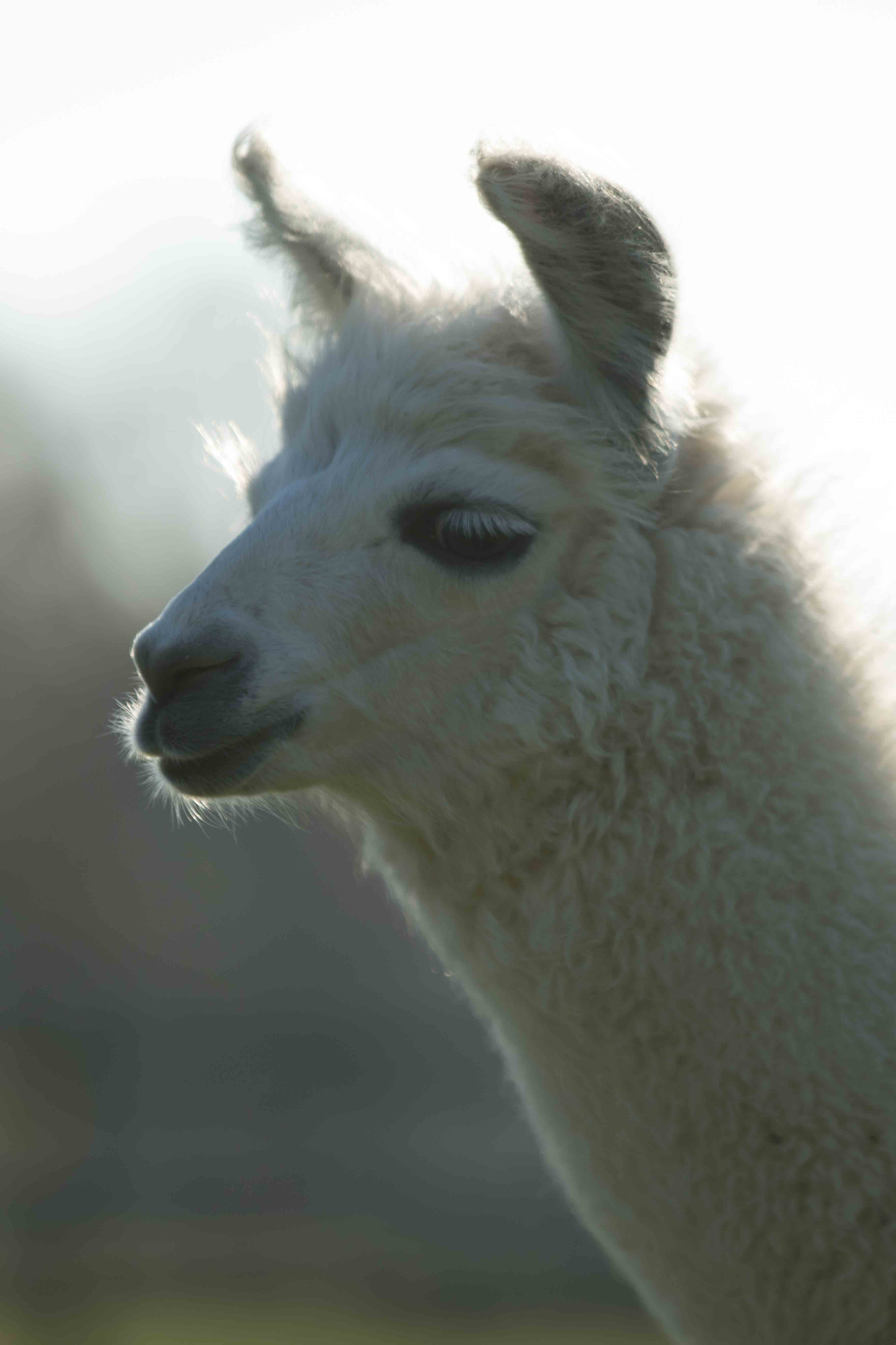 Merlin llama at spring farm alpacas