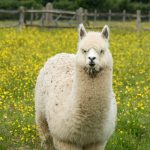 Alpaca walks with superman