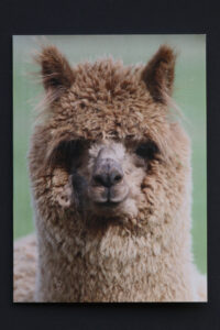 Cute alpaca card