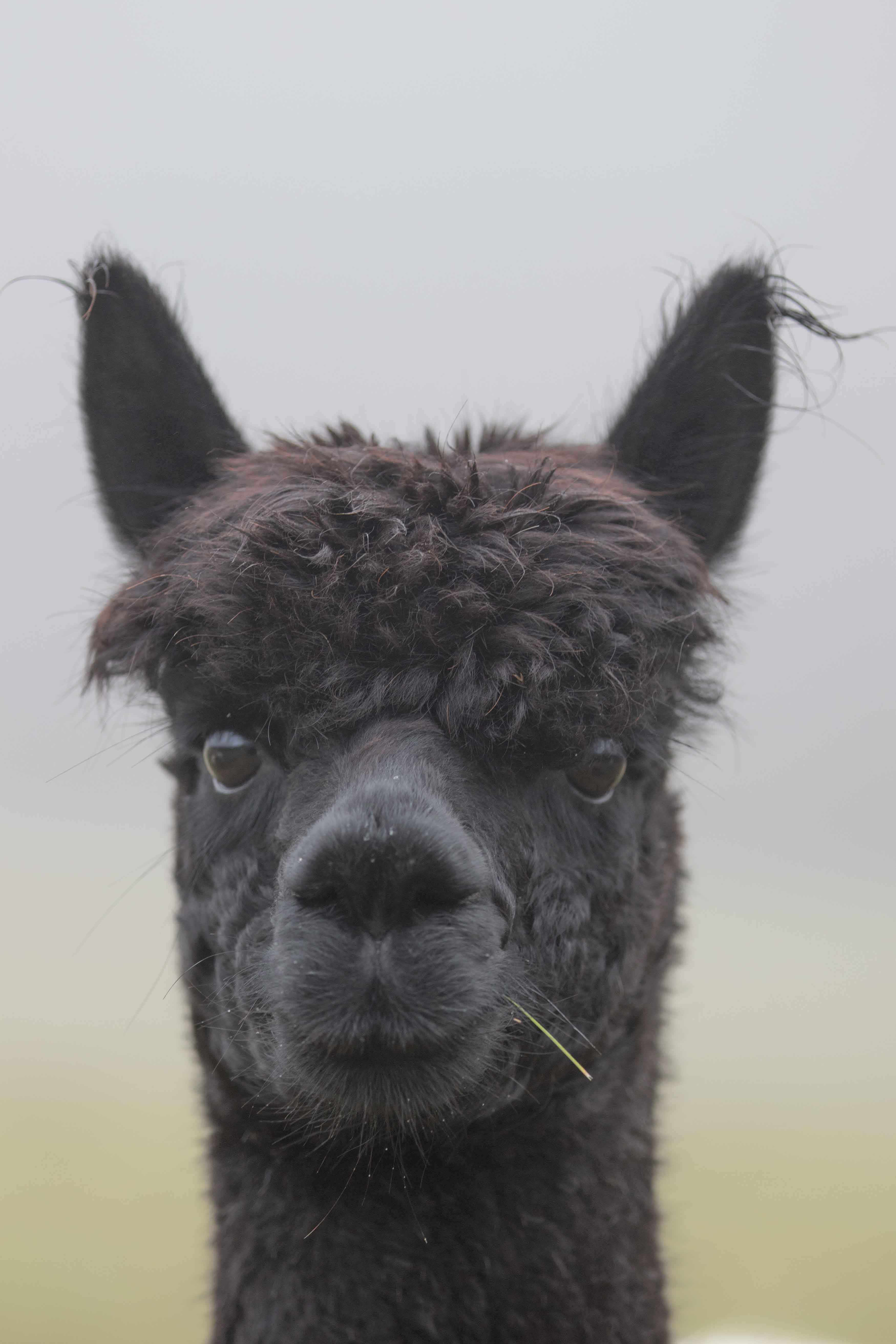 Alpacas available for adoption