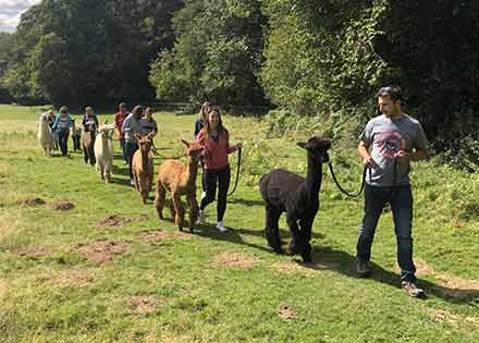 ALPACA WALKING