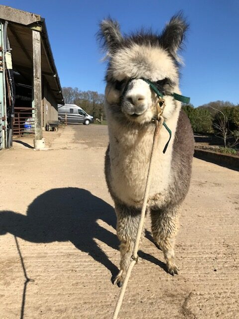 Halter training Violet