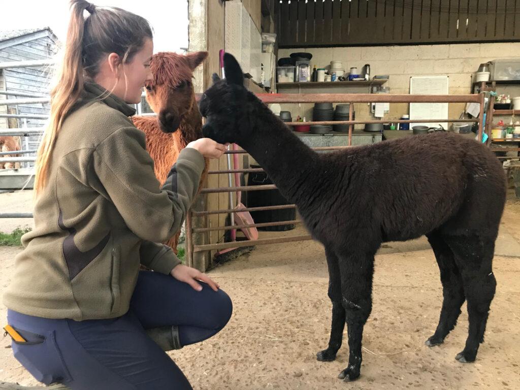 Baby alpaca feeding