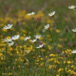 Wildflower meadow at Spring Farm
