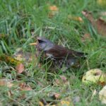 wild fieldfare in our apple orchard