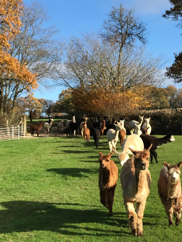 New field for alpacas