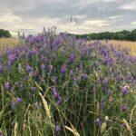 Wildflower meadows at spring farm
