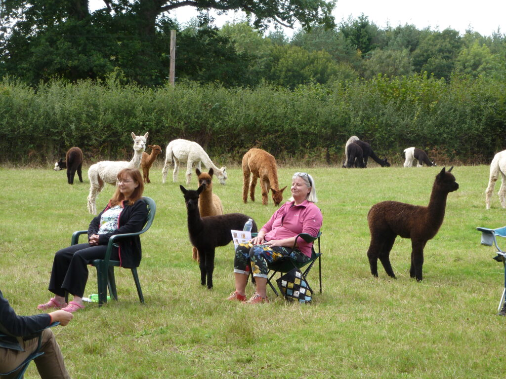 Meditations with alpacas at Spring Farm in East Sussex