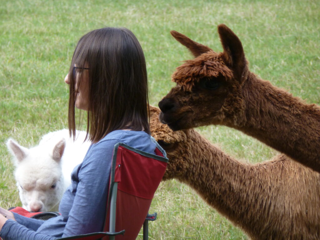 Meditations with alpacas at Spring Farm East Sussex