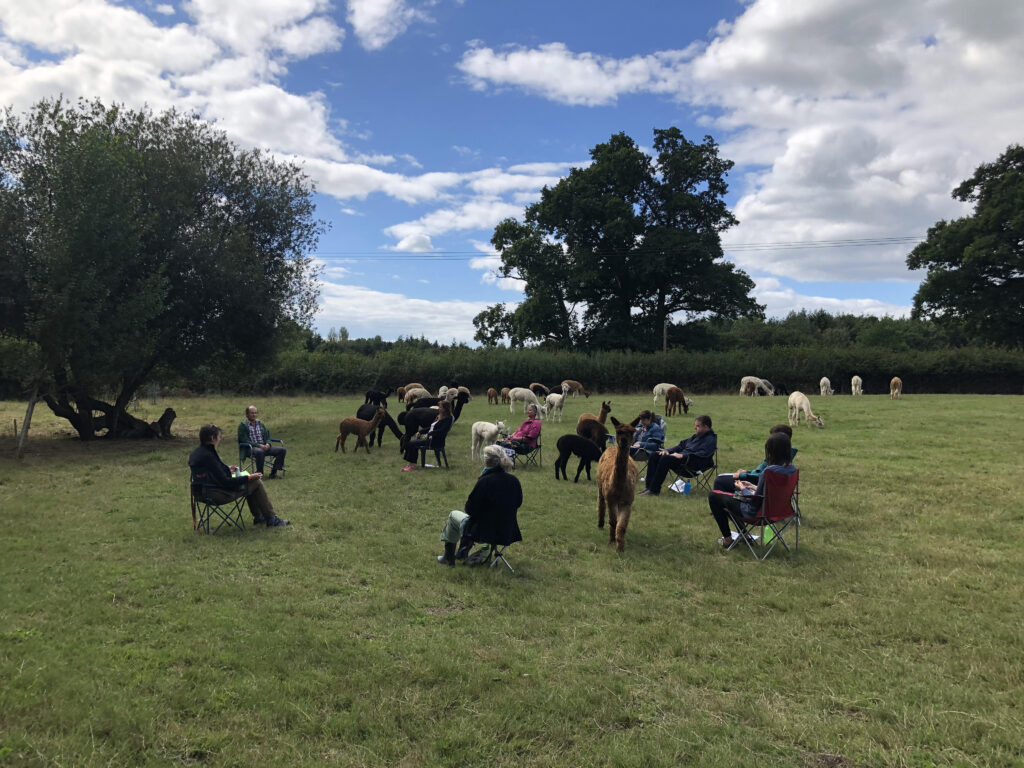 meditate with alpacas in the open