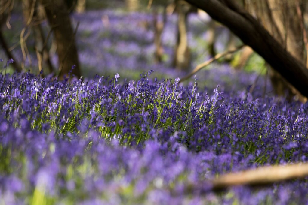 Photograph wild bluebells in ancient woodland