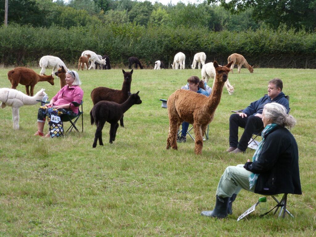 Meditations amongst fields of alpacas