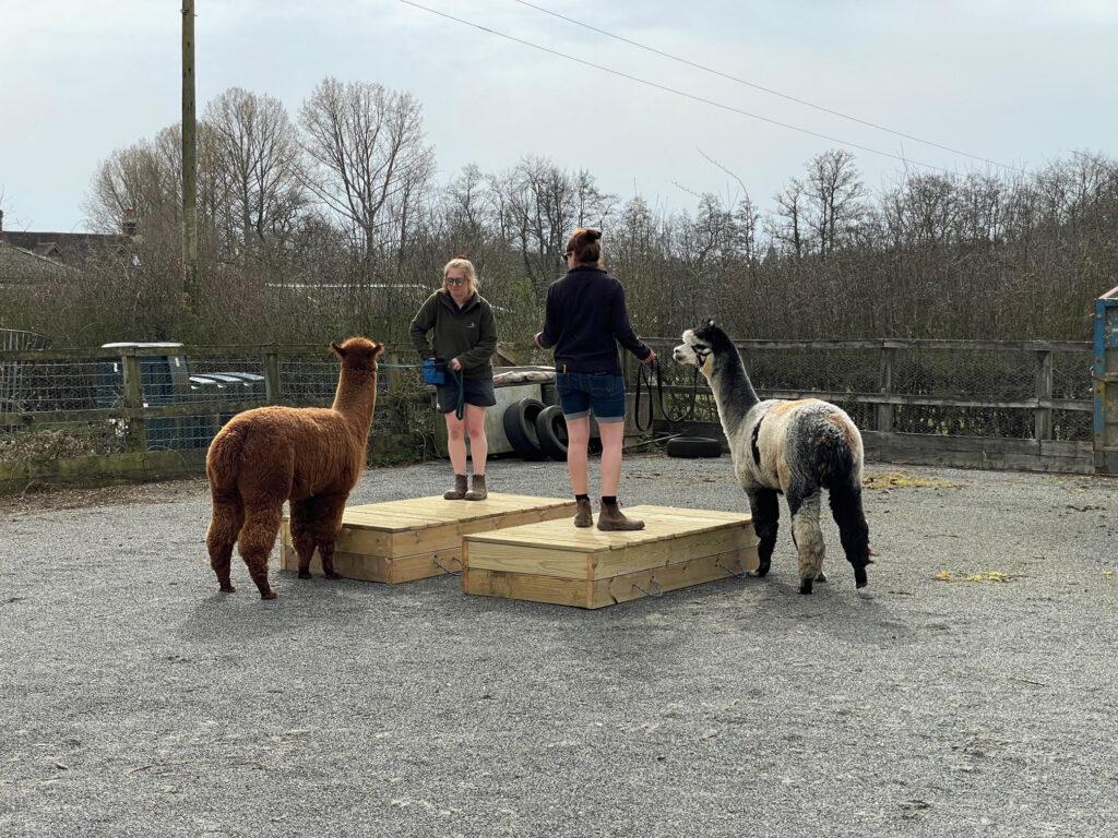 Alpaca handler agility course