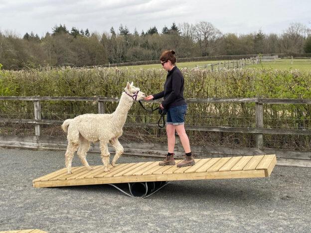Alpaca agility course