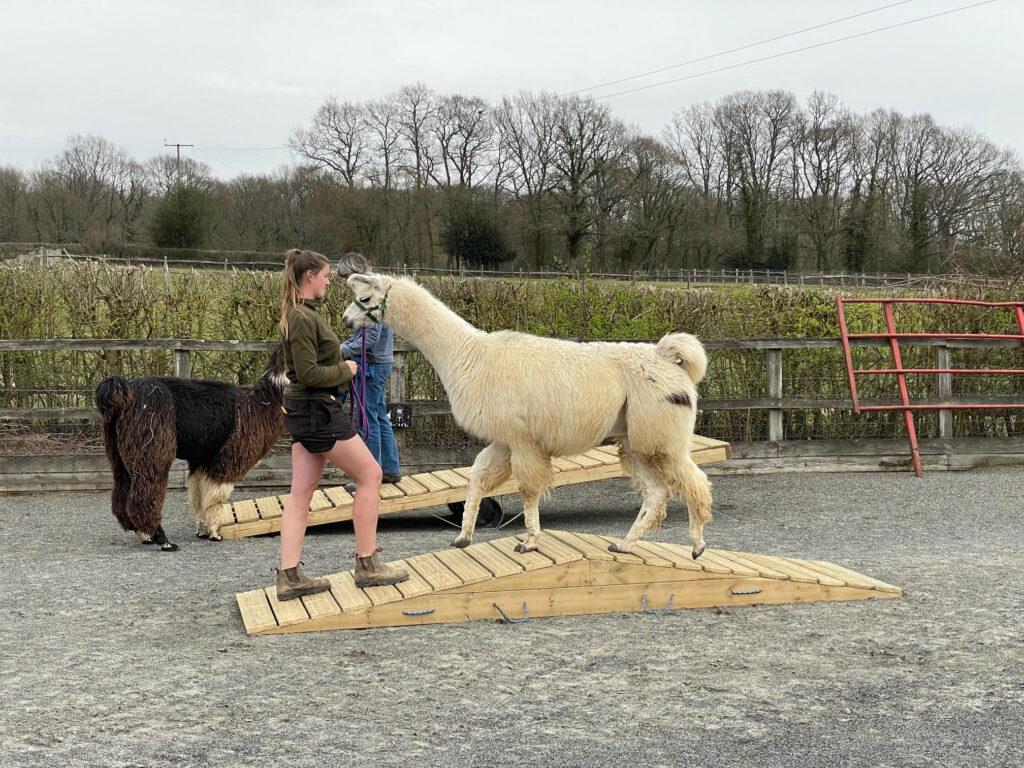 Llama agility course