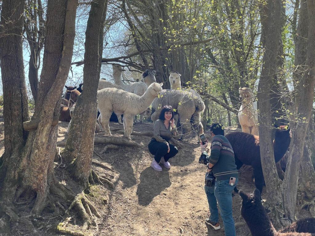 Filming alpaca walking at spring farm alpacas with lola